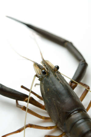 freshwater prawn Stock Photo - 13279568