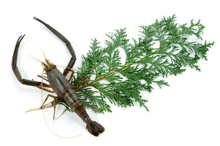 freshwater prawn Stock Photo - 13279626