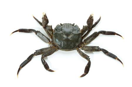 cancer crab: mitten crab