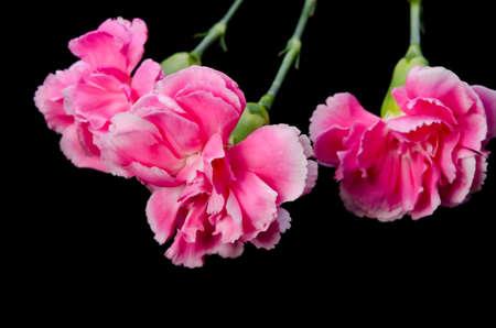 carny: Carnation