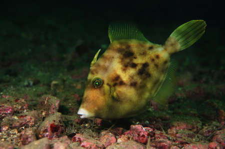 trigger fish: triggerfish