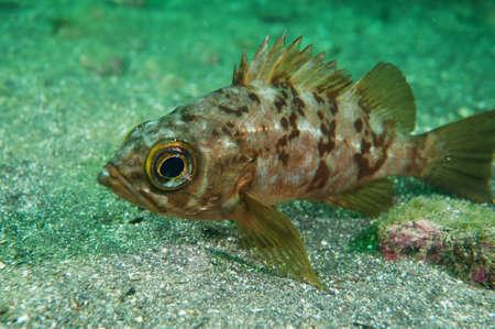 stingfish: black rockfish
