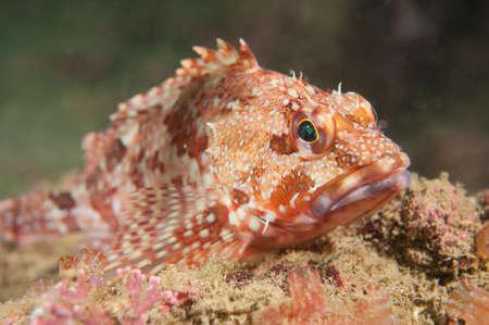 サソリの魚 写真素材
