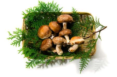 fungoid: shiitake mushroom