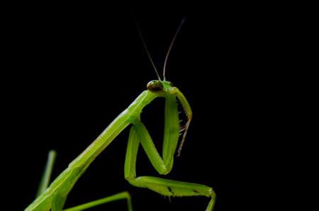 hexapod: mantis Stock Photo