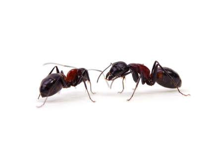 injurious: hormiga