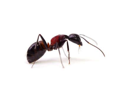 injurious: ant