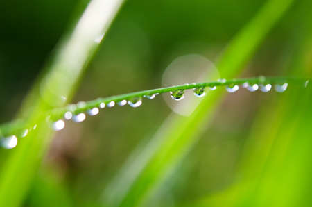 leafage: morning dew