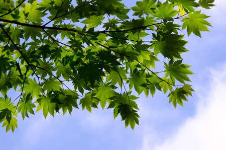 hillwalking: maple leaf