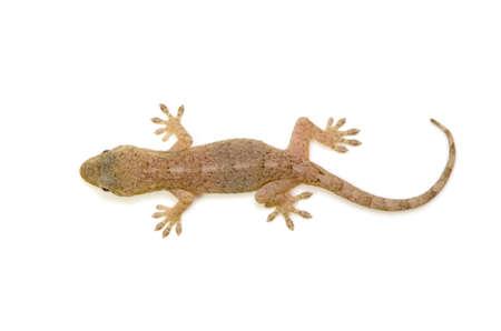japanese gecko  photo