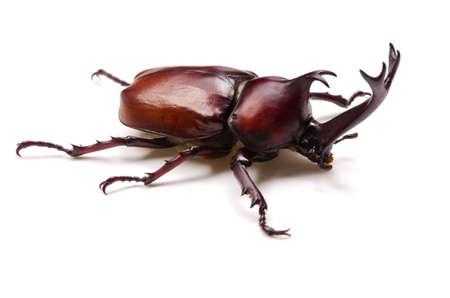 escarabajo: Japonés escarabajo rinoceronte