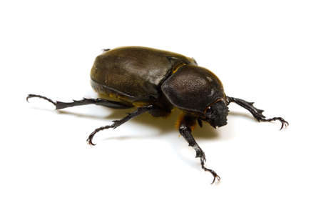 hexapod: Japanese rhinoceros beetle Stock Photo
