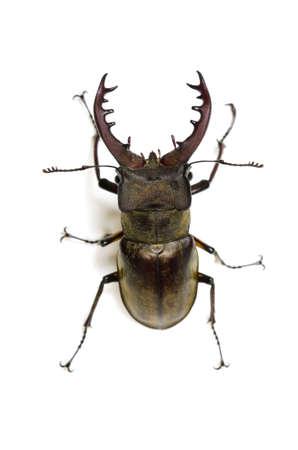 hexapod: miyama stag beetle Stock Photo
