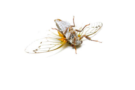 hexapod: Animal series    japanese dog day cicada.