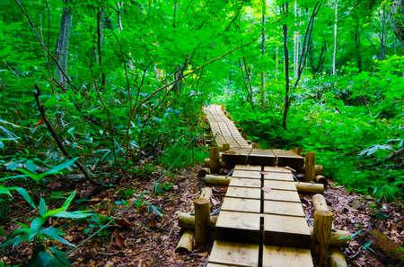 sanchi: beech forest, Shirakami Sanchi , Japan.
