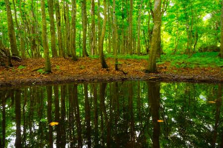 sanchi: pond in beech forest, Shirakami Sanchi, Japan.