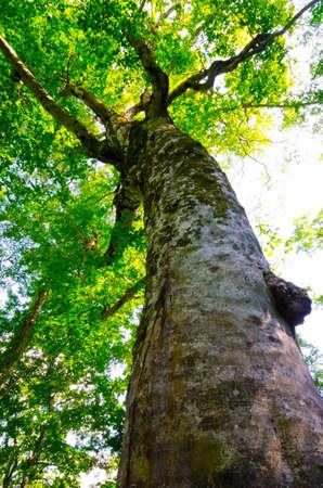 sanchi: Mother Tree, The symbol of Shirakami Sanchi , Japan. Stock Photo