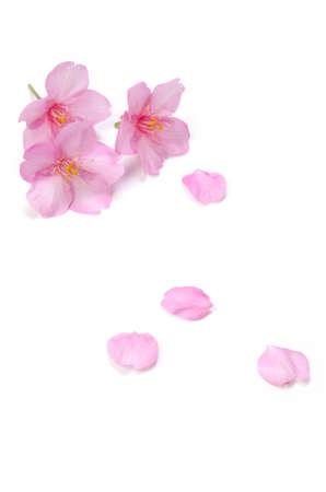cerezos en flor: Kawazu sakura Foto de archivo