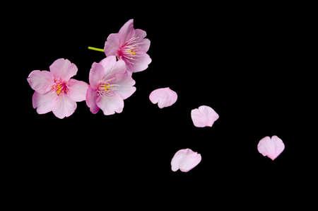 kawazu sakura