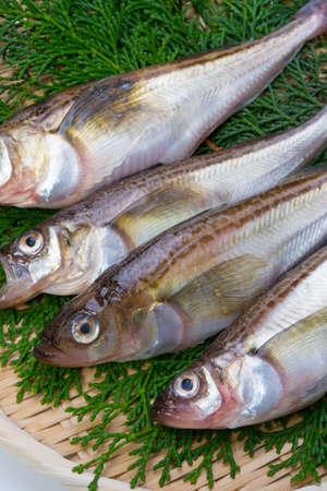 sailfin: sailfin sandfish