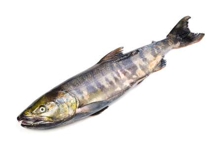 chum: chum salmon