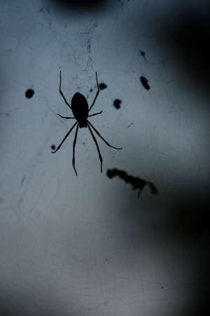 hexapod: golden silk spider
