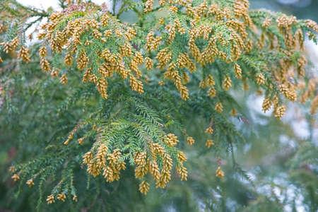 cedro: Polvo del polen de cedro japonés