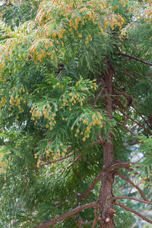 fever plant: Pollen dust of Japanese cedar