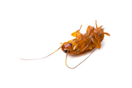 injurious: Cucaracha caf� ahumada