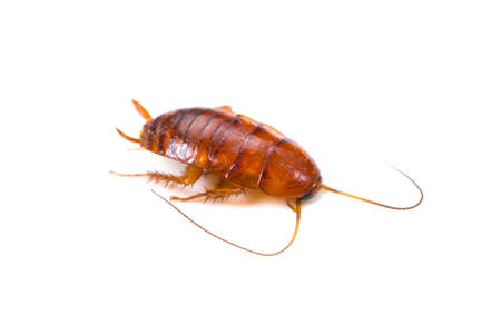 Smokybrown cockroach Stock Photo