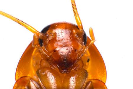 injurious: Smokybrown cockroach Stock Photo