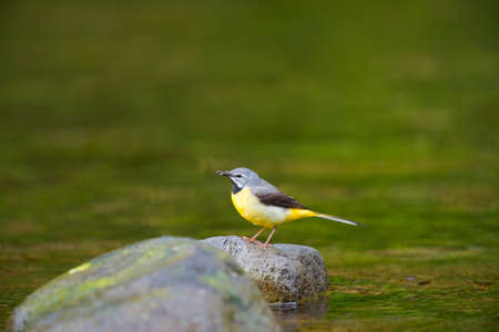 Grey Wagtail  This image was taken in Kanagawa Prefecture, Japan photo