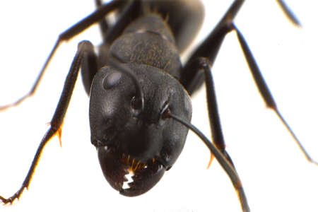 hexapod: Kuro-ooari Ant  for imege of leisure,nature science and others  Stock Photo