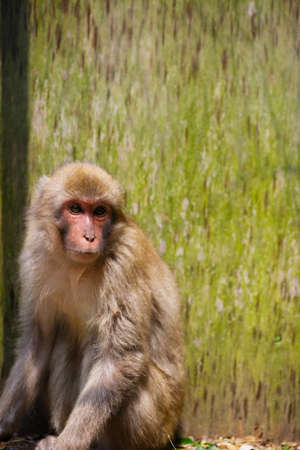 Japanese Macaque Captured in the Trap  This image was taken in Chiba Prefecture, Japan Stock Photo