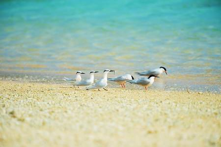 roseate: Black-naped Tern and Roseate Tern  This image was taken in Okinawa Prefecture, Japan