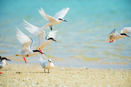 Black-naped Tern and Roseate Tern  This image was taken in Okinawa Prefecture, Japan