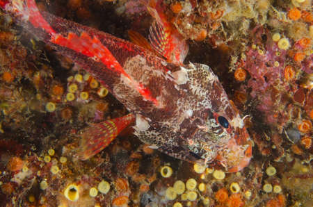 Cheekspot Scorpionfish  This image was taken in Kanagawa Prefecture, Japan photo