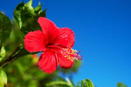 rosemallow: Hibiscus  This image was taken in Okinawa Prefecture, Japan Stock Photo