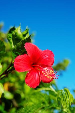 rosemallow: Hibiscus Questa immagine � stata scattata in Prefettura di Okinawa, Giappone