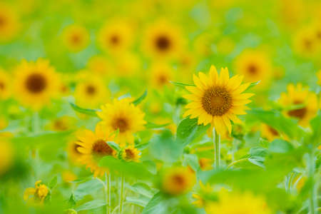 Sunflower  This image was taken in Okinawa Prefecture, Japan Stock Photo