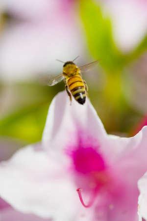 hexapod: Western Honey Bee  This image was taken in Chiba Prefecture, Japan