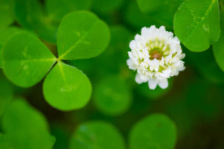 dutch clover: White Clover  This image was taken in Chiba Prefecture, Japan