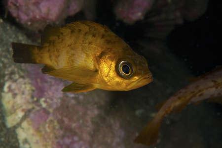 stingfish: Japanese Rockfish  This image was taken in Kanagawa Prefecture, Japan Stock Photo