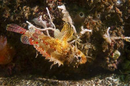 scorpionfish: Cheekspot Scorpionfish  This image was taken in Kanagawa Prefecture, Japan