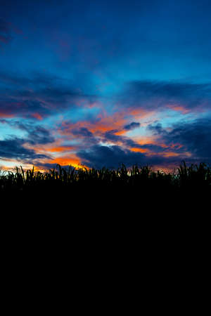 suger: The Sunset of Suger Cane Field, Okinawa Prefecture Japan Stock Photo
