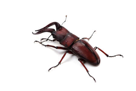 hexapod: Japanese Stag Beetle-Prosopocoilus inclinatus, This image is available for clipping work
