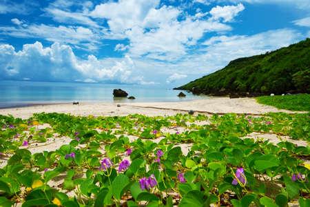 The Beach Morning Glory in ARAGUSUKU Coast-Ipomoea pes-caprae, Okinawa Prefecture Japan Stock Photo