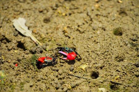 fiddler: Fiddler crab-Uca chlorophthalma crassipes, Okinawa Prefecture Japan