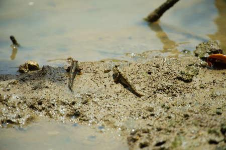 Barred Mud Skipper-Periophthalmus argentilineatus, Okinawa Prefecture Japan
