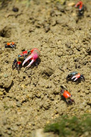 crustacea: Fiddler crab-Uca chlorophthalma crassipes, Okinawa Prefecture Japan